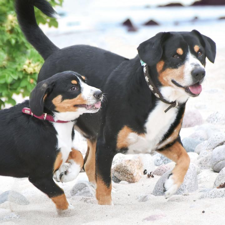 Coco und Caruso Entlebucher aus der Südheide